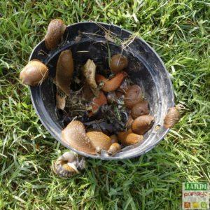comment eloigner les limaces de mon jardin