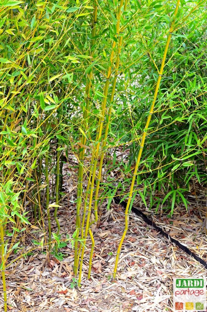 comment planter des bambous en haie
