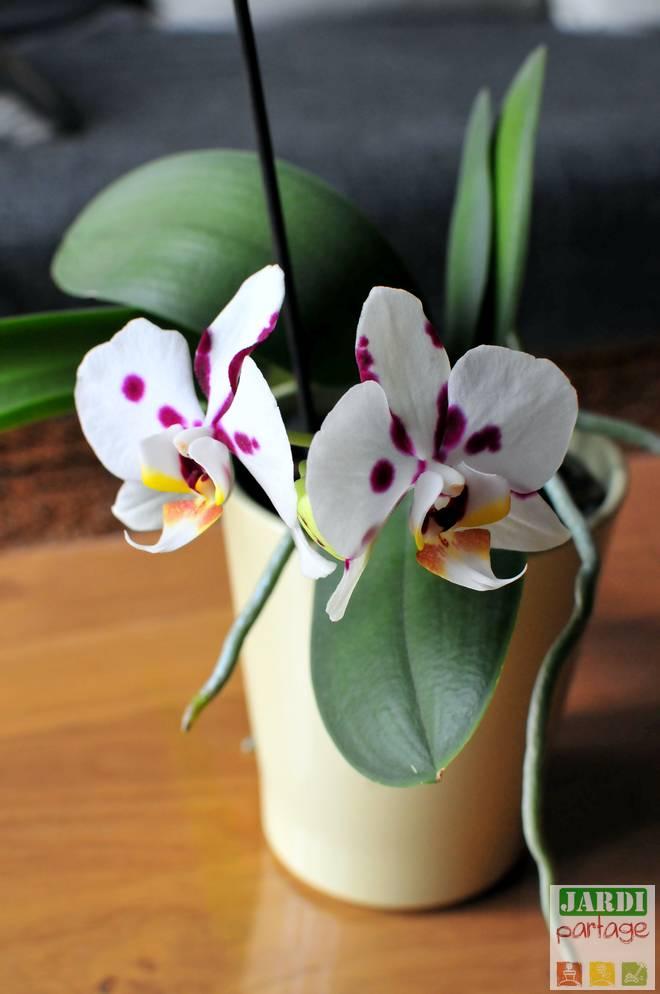 mon orchidee ne fait que des feuilles