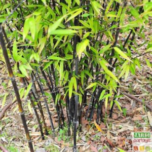 planter bambou barriere anti-rhizome