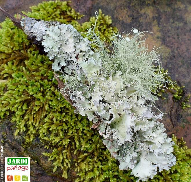 lichen sur les arbres fruitiers