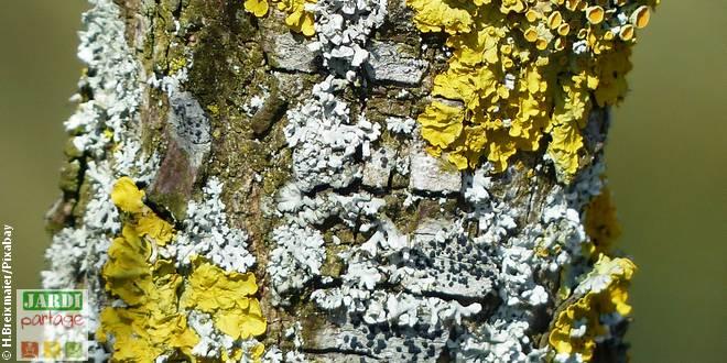 lichen sur les arbres