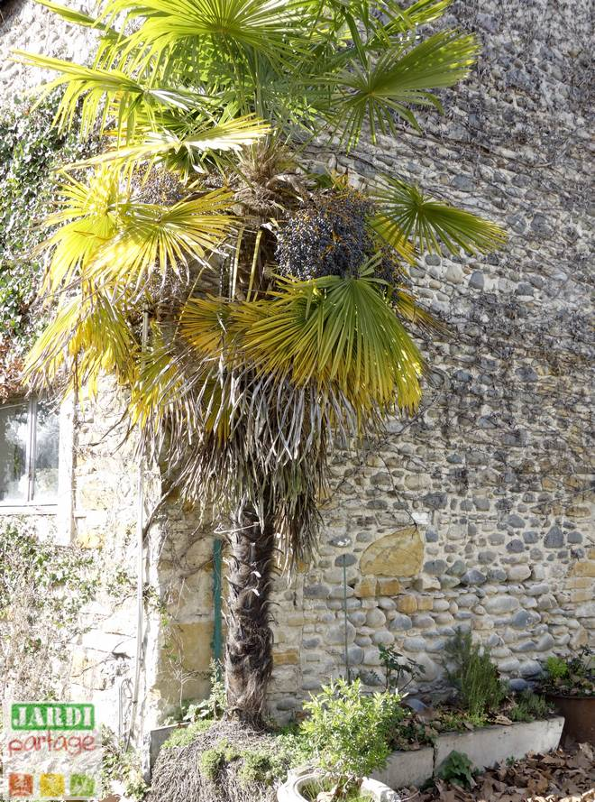 palmier resistant au froid croissance rapide