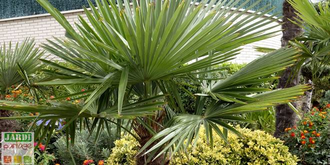 palmier resistant au froid