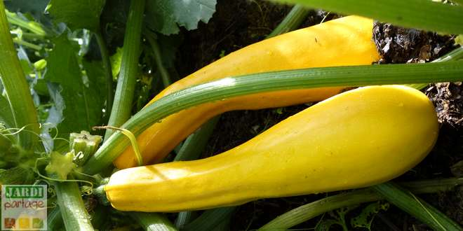 difference entre courgette jaune et verte