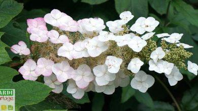 Photo de L'Hortensia à feuilles de chêne, l'atout charme du jardin