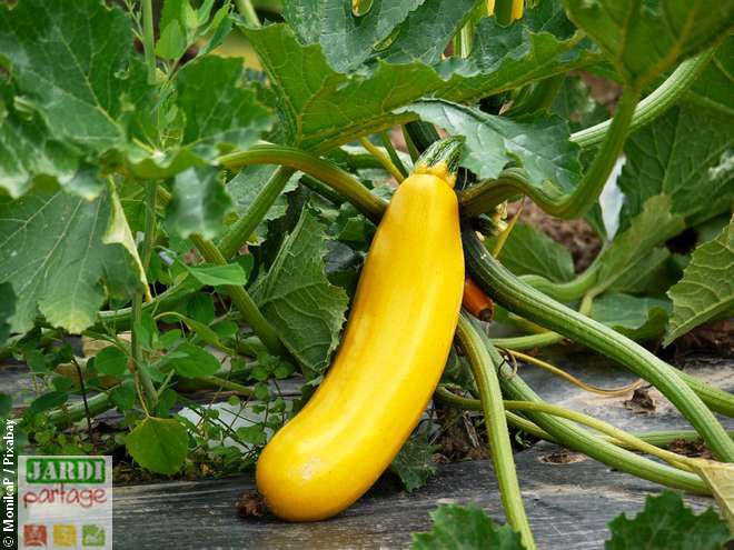 quelle difference entre courgette jaune et verte