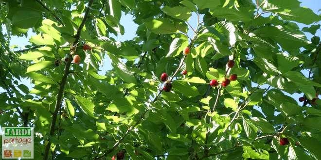 taille cerisier