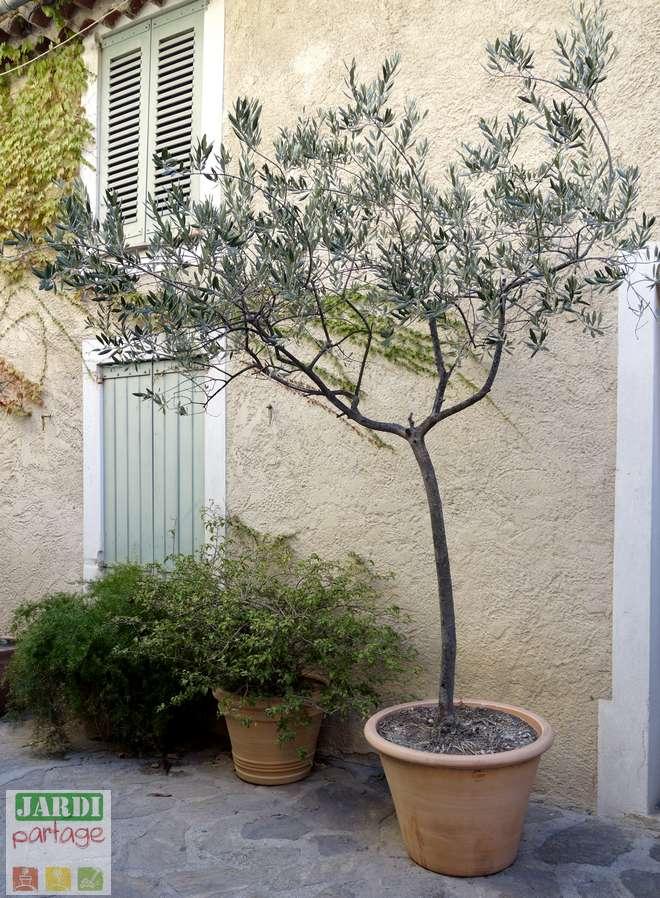 comment arroser olivier en pot