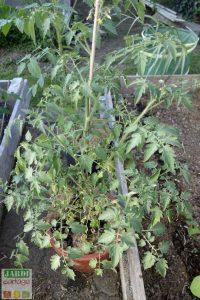 cultiver des tomates cerises en pot