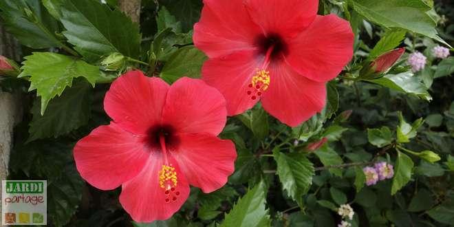 Photo de Quel entretien pour l'Hibiscus ou Rose de Chine ?