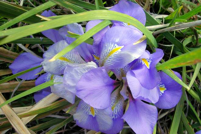 iris alger