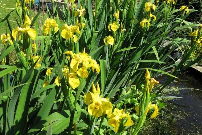 iris d eau jaune