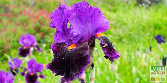 plantation iris