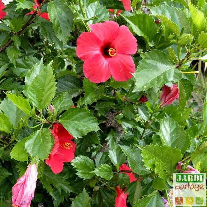 tailler un hibiscus en pot
