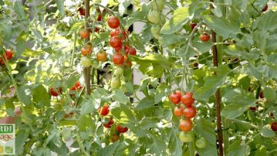 tomates cerises en pot