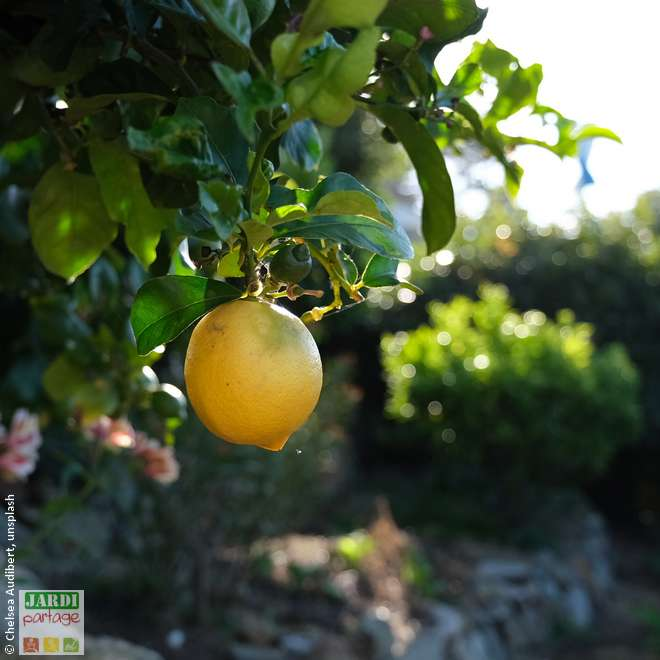 bergamote plante agrume