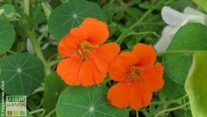 capucine fleur comestible