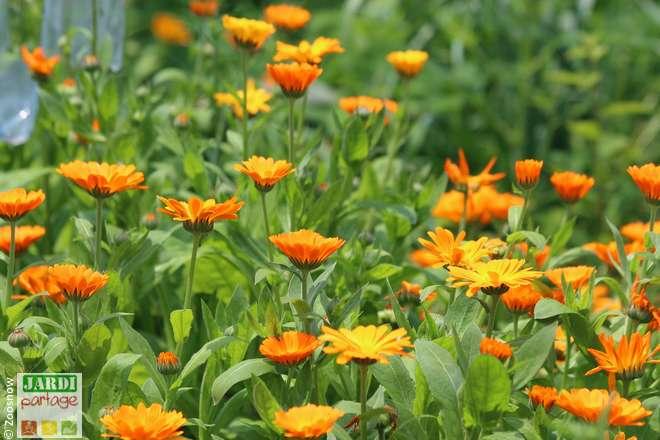 liste fleurs qui se mangent