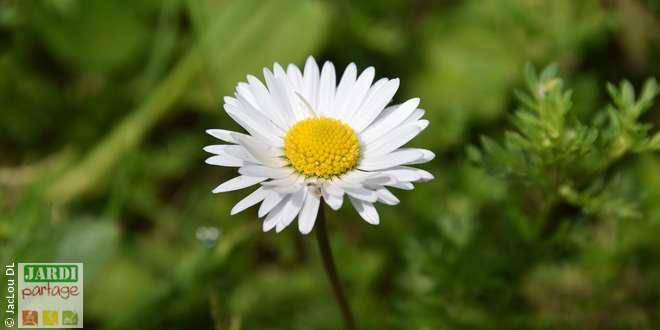 paquerette fleurs qui se mangent