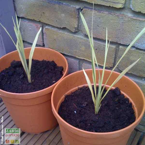 plante cordyline multiplication