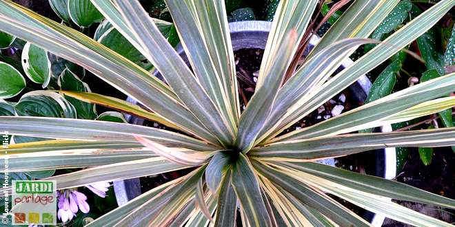 Photo of La cordyline : graphique et colorée !