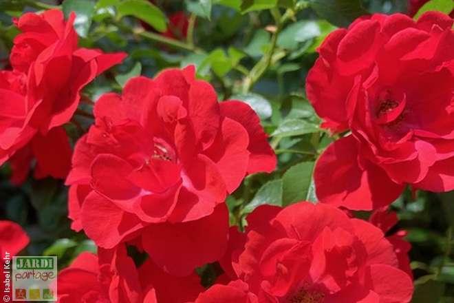 rose fleur comestible