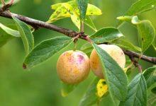 Photo of Ne taillez pas votre prunier pour des prunes !