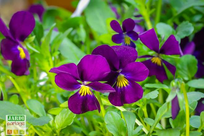 violettes fleurs qui se mangent