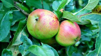 Photo de Comment conserver les pommes après récolte ?