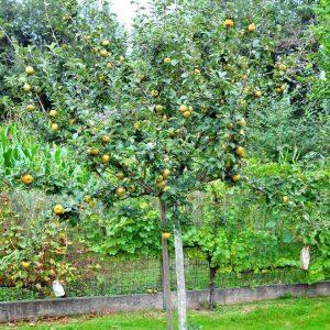 conservation pommes bio