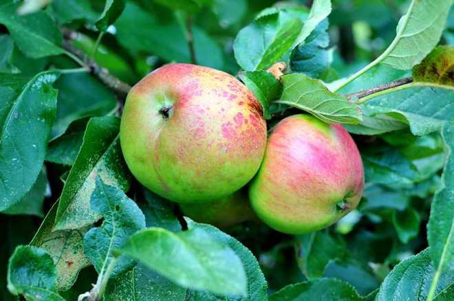 conservation pommes