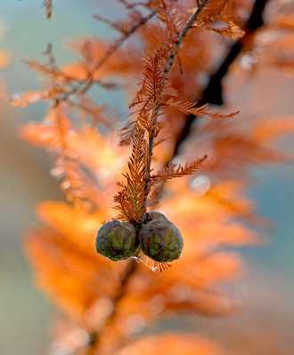 cypres chauve automne