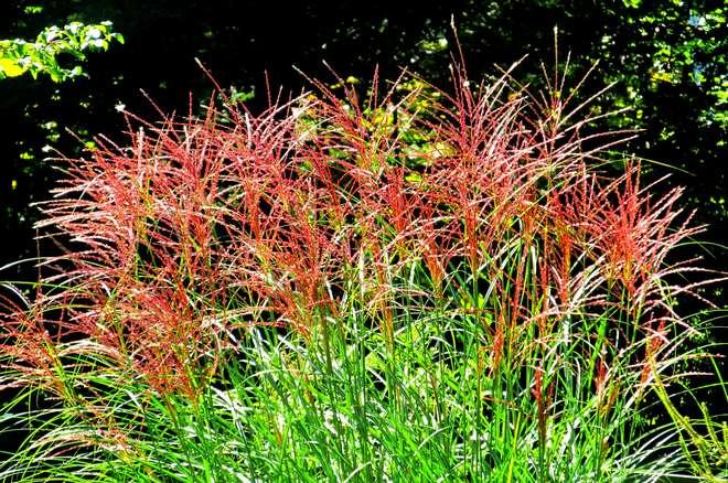 graminees fleurs rouges