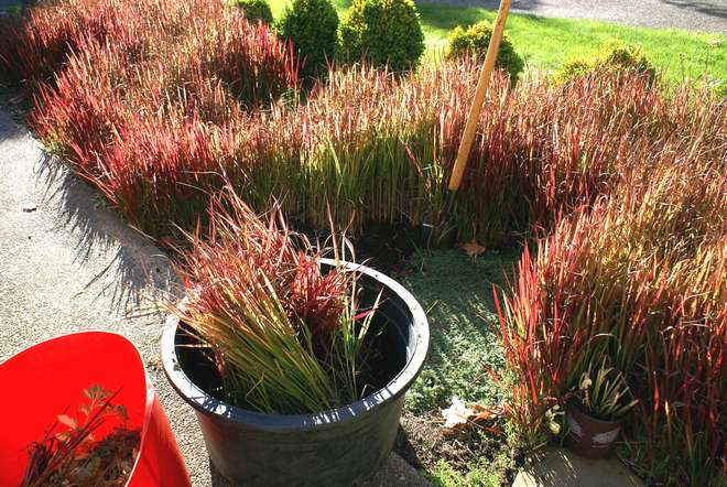 graminees rouges imperata cylindrica