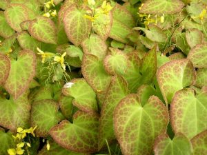 plante couvre sol ombre epimedium