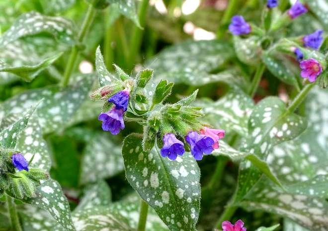 plante couvre sol ombre pulmonaria