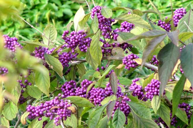 arbuste aux bonbons callicarpa