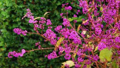 Le Callicarpa, l'étonnant arbuste aux bonbons
