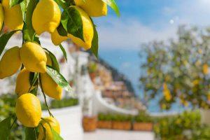 citronnier hiver