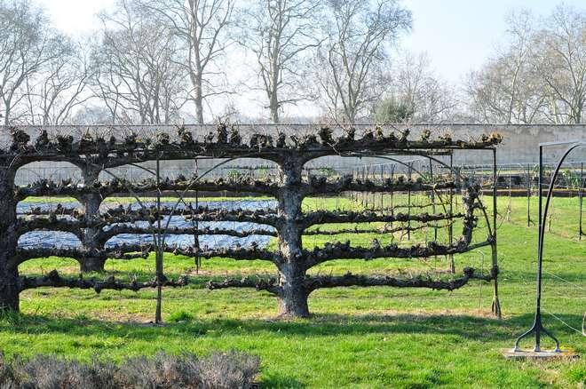 palissage arbre fruitier