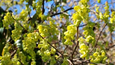 Photo of Noisetier du Japon, Corylopsis pauciflora