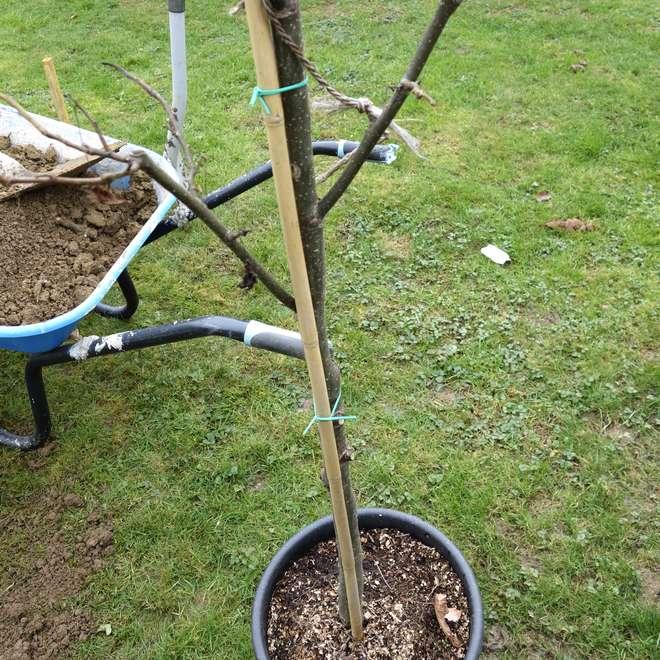 arrosage plantation arbre fruitier
