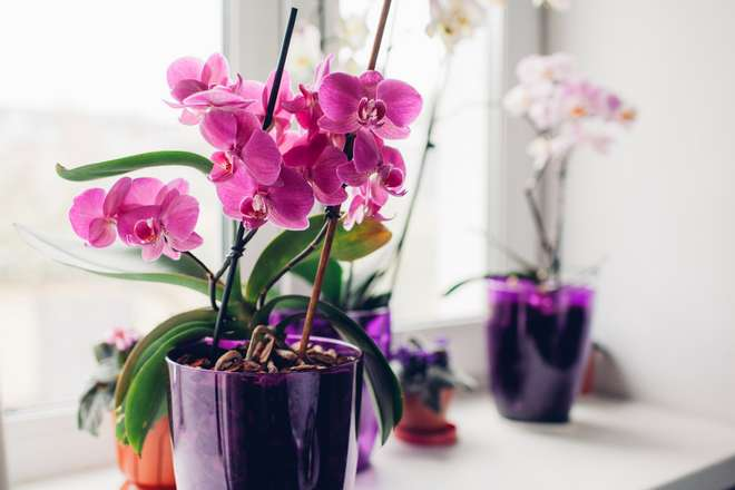 arroser orchidee en pot
