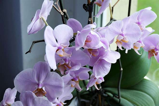 frequence arrosage orchidee en pot