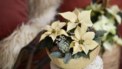 Photo of Le Poinsettia, une étoile de Noël dans votre intérieur