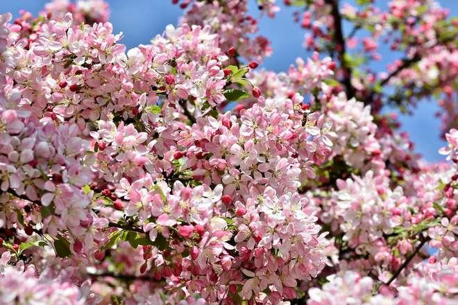 pommier a fleurs