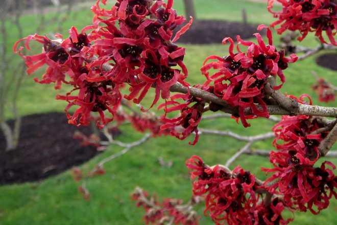 arbuste qui fleurit en janvier
