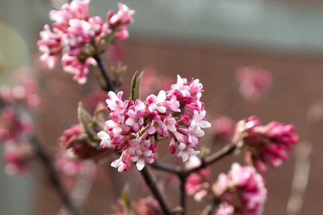 arbustes odorants hiver