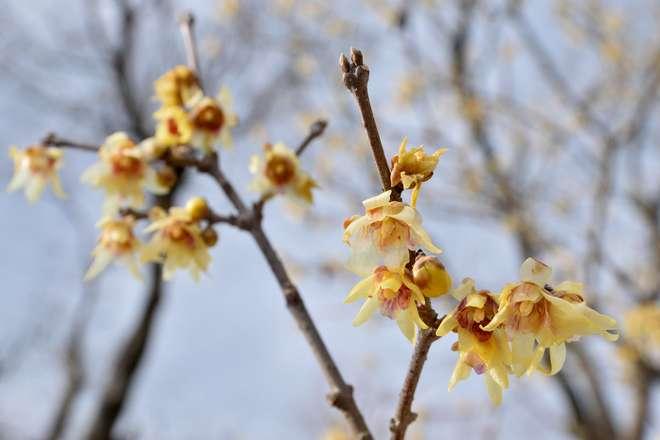chimonanthus arbuste floraison hivernale